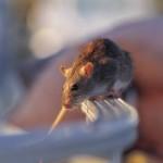 הדברת עכבר תמונה